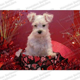 Gran Oferta Cachorros Schnauzer Miniatura Blancos Unicos Fcm
