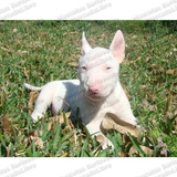 Gran Oferta Cachorros Bull Terrier Ingles Cabeza De Mula Fcm