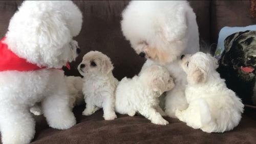 Cachorros Bichon Frise Padres Pedigre Mascota Unicos De Casa