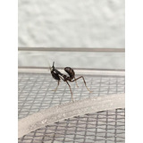 Mantis Fantasma Phyllocrania Paradoxa