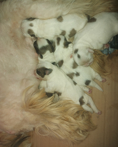 Cachorros Shitzu Mini( Reserva)