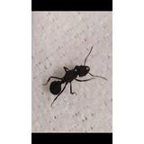 Hormiga Reina Fecundada Con Hormiguero