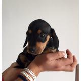 Preciosos Salchicha Mini Dachshund