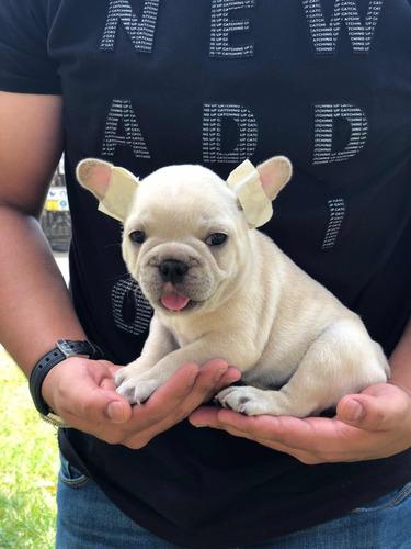 Vendo Cachorro De Raza Bulldog Frances Color Crema Fawn