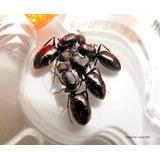 Hormigas Granja  (hormigas Criadas, Equipos, Nidos, Insumos)