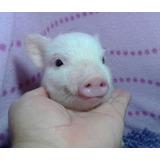 Mini Pigs, Lista De Espera, Aparta Con Tiempo !!
