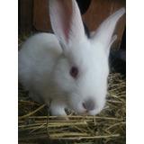 Conejos Criollos Bebes