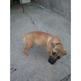 Cachorro Boer Boel