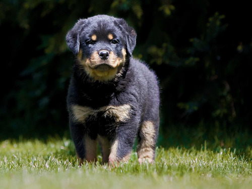 Rottweiler Gigante Cachorros Linea Americana Los Mejores