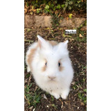 Conejos Cabeza De Leon Puros
