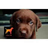Seña Cachorros Labrador - Criadero Tribu