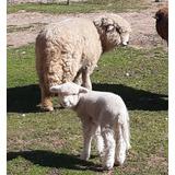 Ovejas Ovinos Madre E Hija Corderos