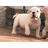 Cachorros Bulldog Inglés Con Pedigree Kcu
