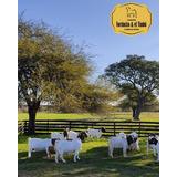 Cabras Boer Pp Y Pc