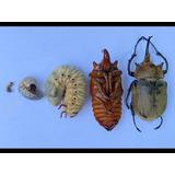 1 Larva De Megasoma Elephas Etapa L3 De Un Año Envío Gratis