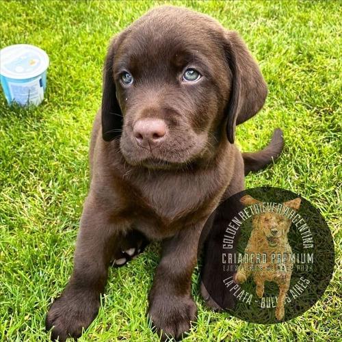 Labrador Chocolate Puros Criadero Golden Retriever Argentina