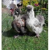 Silkies Aves Sedosas Del Japón