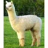 Alpacas Hembra De Criadero Lama Mal Con  Pedegree Registrado