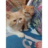 Gato Persa Exótico Color Red 3 Meses Vacunado Desparasitado