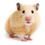 Hamster Sirio Teddy Bear Pequeño Roedor Común