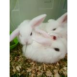 Conejos Holland Mini Lop