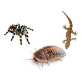 Cucarachas Blaptica Medianas Alimento Geckos Tarántulas X100