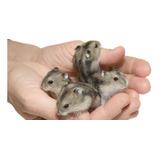 * Hamsters Rusos (topitos) Colores Variados!.. Hermosos!! **