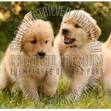 Golden Retriever Hay Hembritas Y Machitos, Criadero Rural