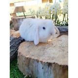 Conejos Mini Lop (orejas Caidas)