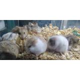 Hamster Chinos (no Envios) Entregas Únicamente En Xalapa
