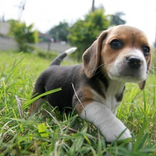 Beagle Cachorros De Raza Pura