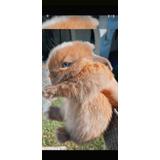 Conejos Holland Lop Puros!!