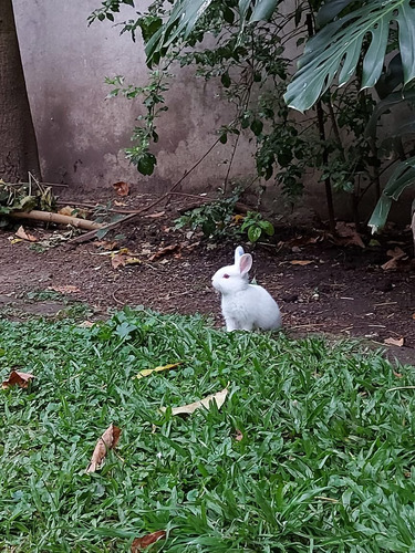 Conejo Californeano Puro