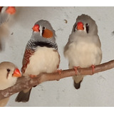 Aves Mandarines Pichones 60 Y 90 Dias Hermosos !