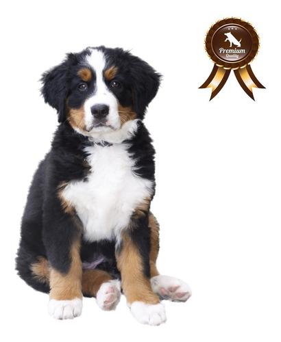 Cachorros De Boyero De Berna, Criadero Van Floshen Pedigri