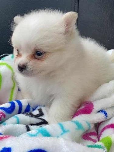 Cachorros Pomerania Lulu Blancos En Venta Hembra
