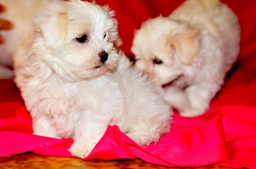 Cachorros Malteses Puros