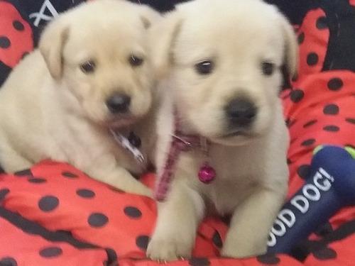 Labradores. Criadero Del Goliardo