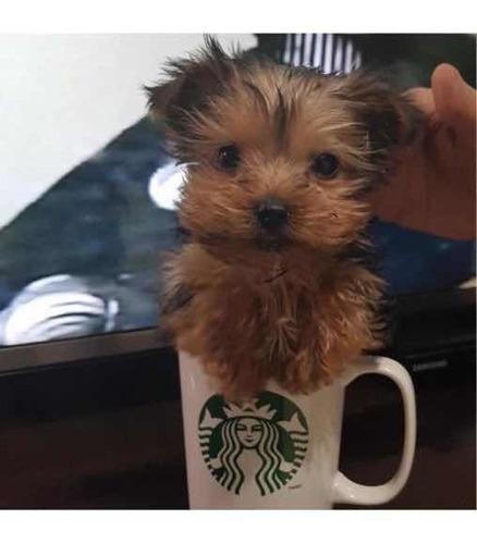 Yorkshire Terrier Macho Mini Retíralo Hoy