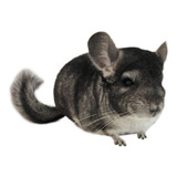 Chinchilla Mansa Bebe Gris Dark Blue Mascota De Criadero