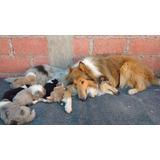 Autenticos Cachorros Collie, Padres Importados Full Pedigri