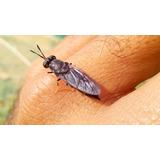 1000 Larvas De Mosca Soldado Negro En Estado De Pupas