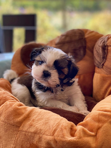 Hermosos Machitos Shih Tzu Chiquititos  !!
