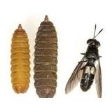 Larvas Prepupas Y Pupas Mosca Soldado Negro X 300 Ud.
