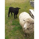 Corderos  Ovejas Madre E Hija De 8 Semanas Mascotas