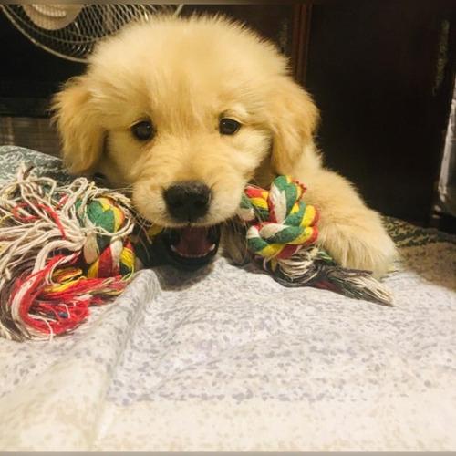 Cachorros Golden Retriever Excelente Genética