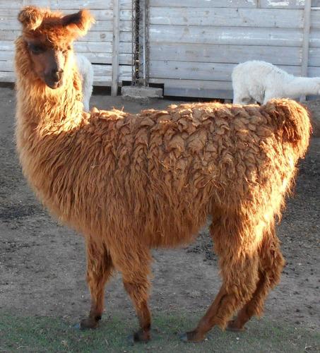 Llamas De Criadero Lama Mal Con Y Sin Pedegree Registrado