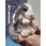 Conejos Enanos Holland Lop , En La Paternal, Nueva Camada!