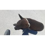 Corderos  Ovejas Color Negro Mascota