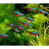 10 Peces Tetra Neon Cardenal Acuario Tropical Polypterama